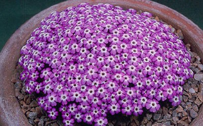 Dionysia_bryoides - foto Robert Rolfe