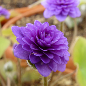 Hepatica nobilis ´Goldbeck´s plena´