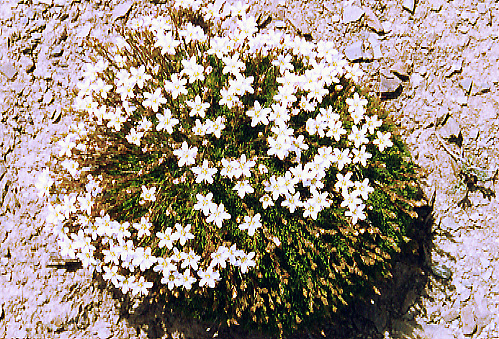 Minuartia sp.