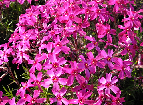 Phlox ´Temiscaming´