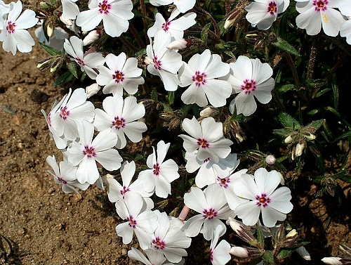 Phlox ´Amazing Grace´