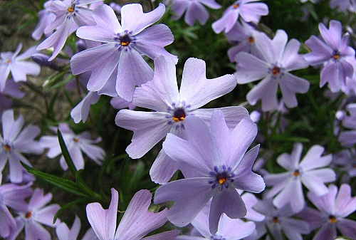 Phlox ´Blue Cushion´