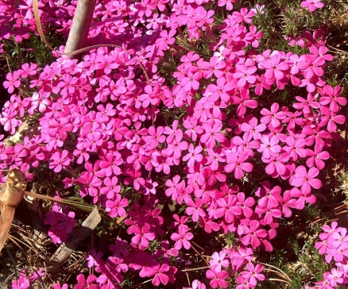 Phlox ´Crackerjack´