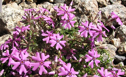 Phlox ´Fort Hill´