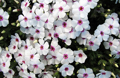 Phlox ´Little Daisy´
