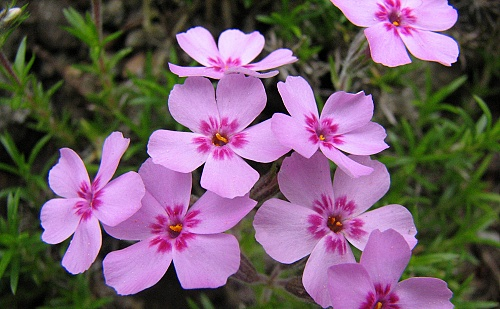 Phlox ´Morgenstern´