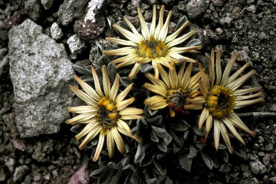 Townsendia aprica - Foto Margaret Williams, Nevada Native Plant Society