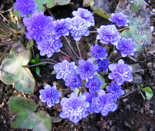Hepatica nobilis plena blue - Czech typ